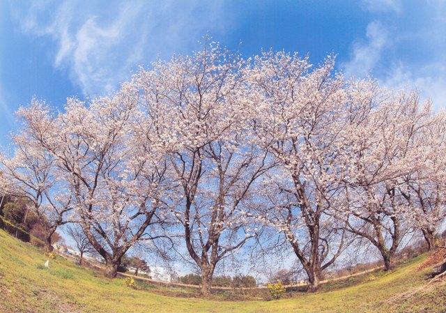 【2015年】ご応募いただいた「松伏町の桜」を紹介します | 松伏町